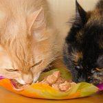 Bagaimana Memilih Makanan Anak Kucing